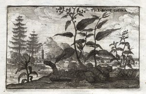 'China root' or ginger, from An Embassy for the East India Company, Johan Nieuhoff, 1669, p. 213.