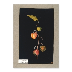 Mary Delany, Physalis, Winter Cherry, a paper collage. Courtesy of the British Museum.